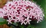 Gardening: Glory to clerodendrums