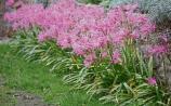 Gardening: Magnificent little nerines