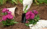Gardening: Chrysanthemums: colour for winter