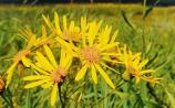 Then & Now: Sorting the facts from fiction of ragwort