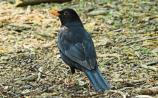 Then & Now: 'Blackbirds 'Sing a Song of Sixpence' - Tom Aherne