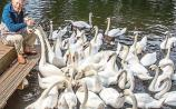 Limerick's Cyril boosts swans in Shakespeare's town
