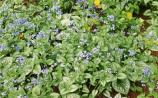 Gardening: Brunneras are made for the shade