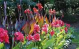 Gardening: Get canny about lovely cannas