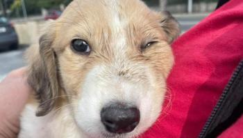 Puppy 'kicked around like a football' rescued by Limerick Animal Welfare and gardai