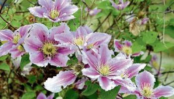 Green Fingers: Solving problems with demanding clematis