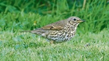Wild About Wildlife: Song thrush sings in winter