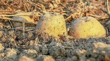 Wild About Wildlife: Digging deep on traditional spuds