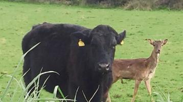 Herd mentality: Cattle on Limerick farm fawn over mystery young deer that they have adopted