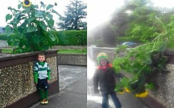 Storm damage: Jayden Slattery with the sunflower before and after the towering plant was cut down to size by wind this week