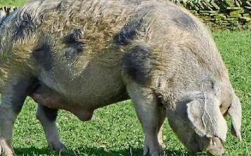 Famous boar was a big hit with lovelorn sows