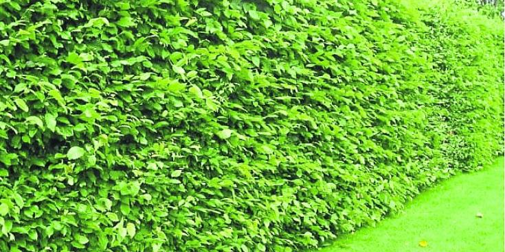 Green Fingers: Getting a handle on overgrown hedges