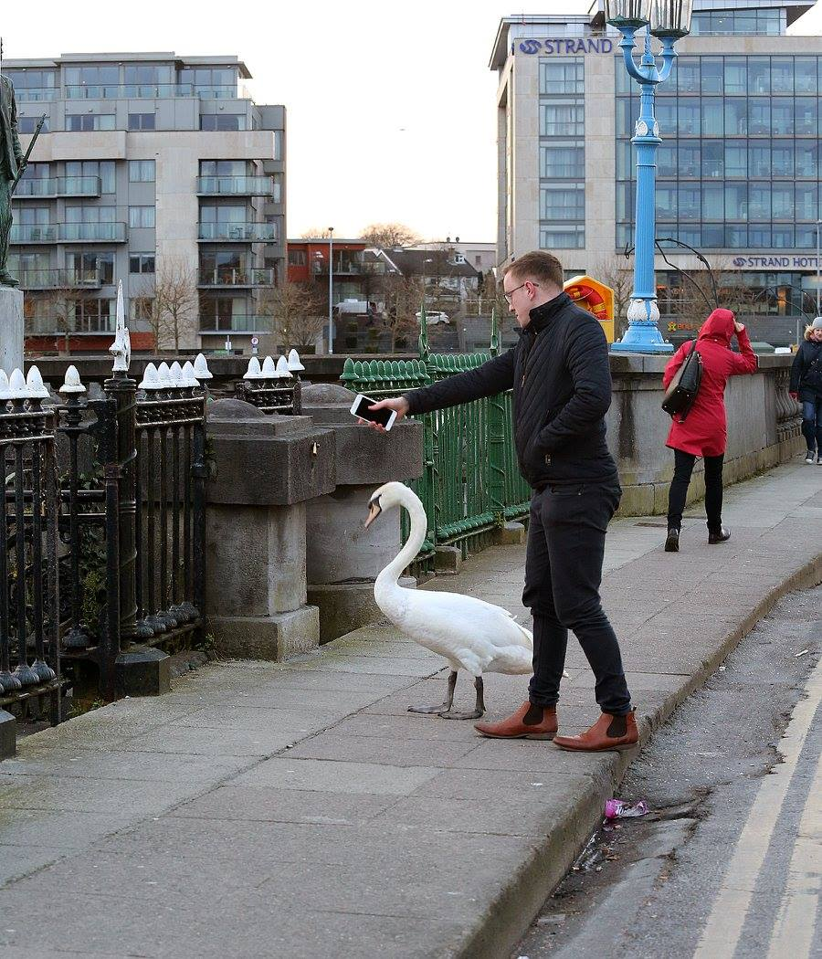 Viral News Online Home: Images Of Limerick Man Helping Swan Cross Road Go Viral